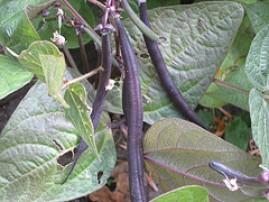 haricots à rames violets