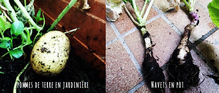legumes_racines