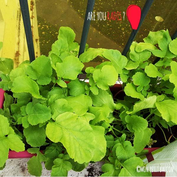 comment pousse le radis en jardinière sur un balcon potager