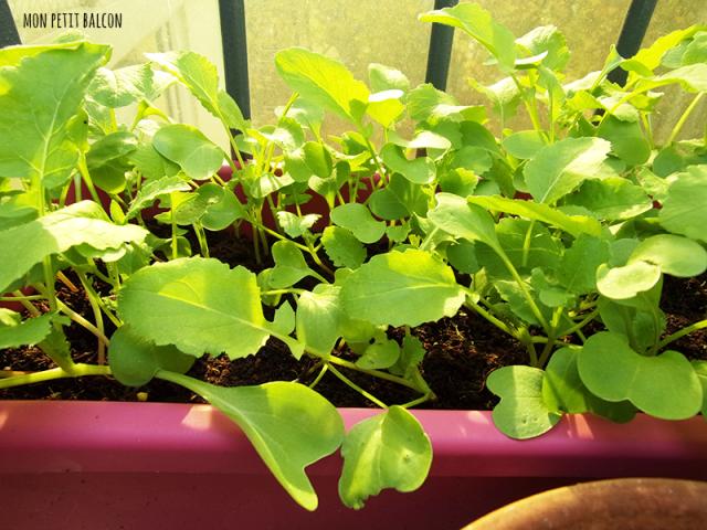 comment pousse le radis : jour 45
