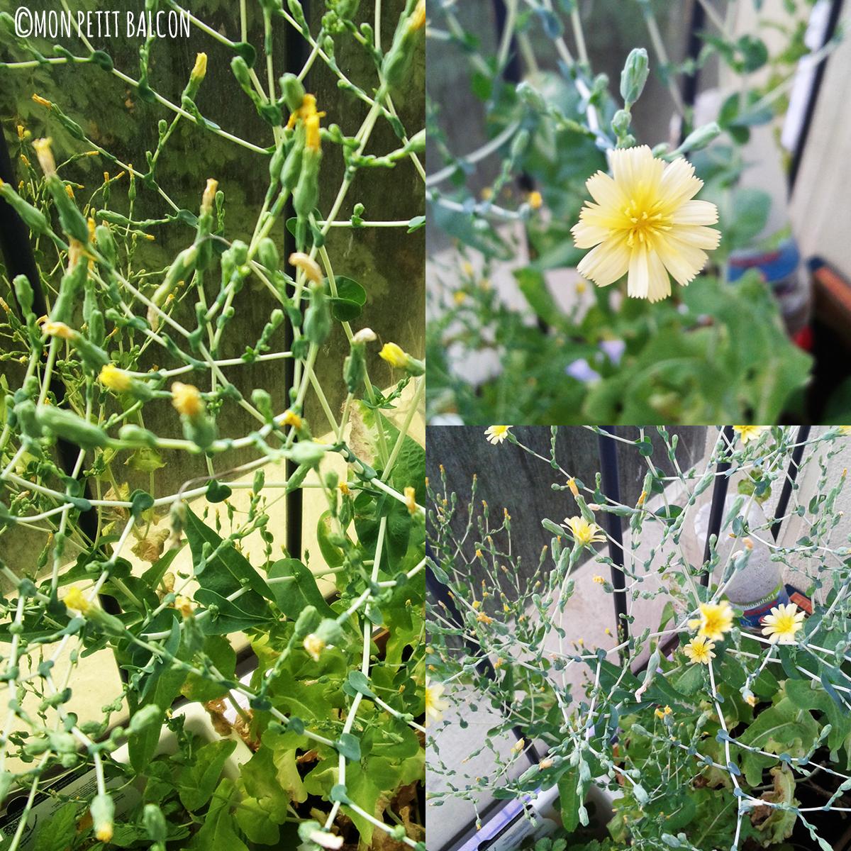 salades en fleurs